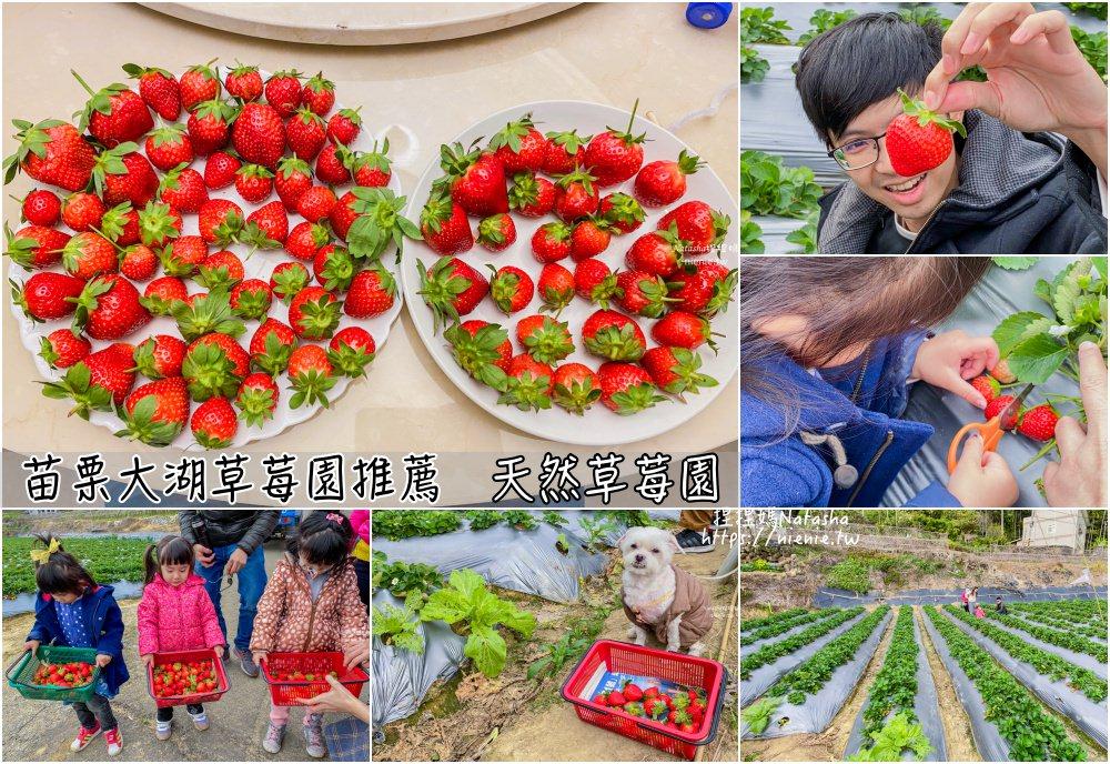 大湖草莓園推薦 苗栗大湖採草莓│天然草莓園~每顆都超紅超美水份高很甜