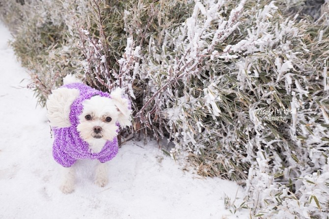 合歡山賞雪│寵物賞雪│賞雪攻略雪鍊租售及寵物追雪必備物品清單12