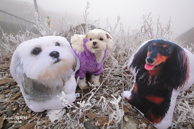 合歡山賞雪│寵物賞雪│賞雪攻略雪鍊租售及寵物追雪必備物品清單55