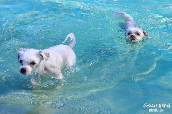 寵物餐廳│寵物游泳│苗栗苑裡美食│狗狗水世界~寵物游泳寵物草皮寵物餐點一次滿足