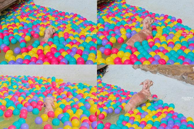 寵物餐廳│寵物游泳│台南關廟美食│森呼吸 Jorona Park~充滿彩色球的寵物專屬游泳池及露天咖啡廳113