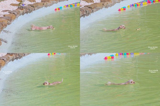 寵物餐廳│寵物游泳│台南關廟美食│森呼吸 Jorona Park~充滿彩色球的寵物專屬游泳池及露天咖啡廳116
