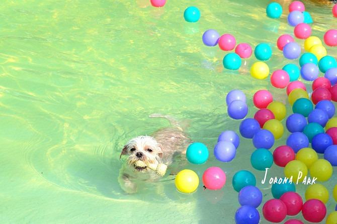 寵物餐廳│寵物游泳│台南關廟美食│森呼吸 Jorona Park~充滿彩色球的寵物專屬游泳池及露天咖啡廳122